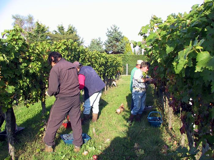 Vendange manuelle et vins de Bordeaux