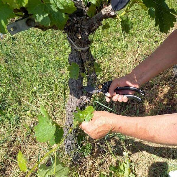 L'épamprage de la vigne, premier travail manuel de printemps